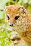 Yellow mongoose. Looking curiously ahead Stock Images