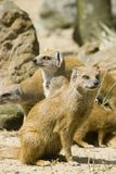 Yellow Mongoose. On the lookout royalty free stock photo