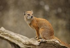 Yellow Mongoose. Portrait of a Yellow mongoose on an old tree stump Royalty Free Stock Photos