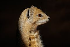Yellow mongoose Stock Image