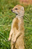 Yellow Mongoose on alert. Stock Photos