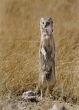Yellow mongoose with ant on neck, Namibia Stock Photos