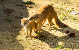Yellow mongoose baby on the ground. Yellow mongoose baby and his parent on the ground Stock Images