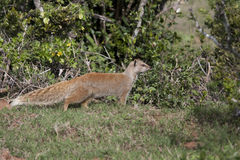 Yellow mongoose in bush Stock Photo