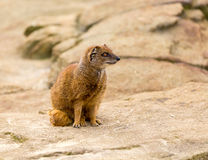 Yellow mongoose. A yellow mongoose in a captive enclosure environment Stock Photography