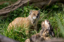 Yellow mongoose Stock Images