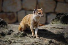 Yellow mongoose (Cinyctis penicillata) Stock Photography
