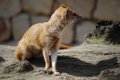 Yellow mongoose (Cinyctis penicillata) Stock Photography