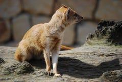 Yellow mongoose (Cinyctis penicillata). Close-up of a yellow mongoose (Cynictus penicillata Stock Photography