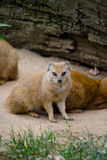 Yellow mongoose (Cinyctis penicillata). Pictur of a yellow mongoose (Cinyctis penicillata) in the Prague zoo Royalty Free Stock Images