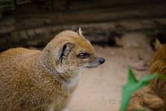 Yellow mongoose (Cinyctis penicillata). Picture of  a yellow mongoose (Cinyctis penicillata Stock Image