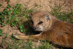 Yellow mongoose close-up. Yellow mongoose in close-up Stock Photos