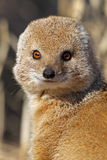 Yellow mongoose close-up, Kalahari desert Stock Photo
