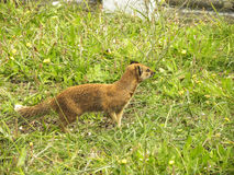 Yellow Mongoose 1. A close-up view of a Yellow Mongoose hunting in a graveyard Royalty Free Stock Photography
