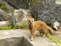 Yellow Mongoose 2. A close-up view of a Yellow Mongoose hunting for invertebrates in a graveyard Royalty Free Stock Photography