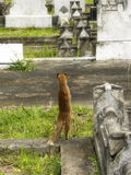 Yellow Mongoose 3. A close-up view of a small Yellow Mongoose keeping watch for predators in an old graveyard Stock Image