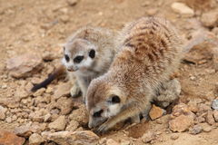 Yellow mongoose couple Royalty Free Stock Photos