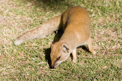 Yellow mongoose (Cynictis peniciillata) Royalty Free Stock Photos