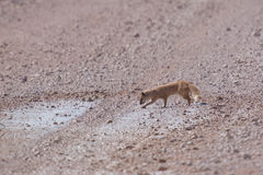 Yellow Mongoose (Cynictis penicillata). In the Etosha National Park, Namibia, October 2009 Stock Photography