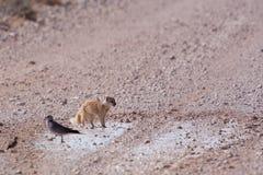 Yellow Mongoose (Cynictis penicillata). In the Etosha National Park, Namibia, October 2009 Royalty Free Stock Images
