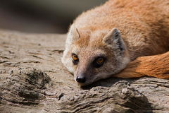 Yellow Mongoose (Cynictis penicillata) Royalty Free Stock Image