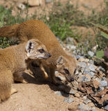 Yellow Mongoose (Cynictis penicillata) Royalty Free Stock Images