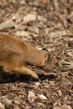 Yellow Mongoose - Cynictis penicillata Stock Image
