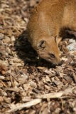Yellow Mongoose - Cynictis penicillata Royalty Free Stock Image