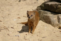 Yellow Mongoose - Cynictis penicillata Royalty Free Stock Images