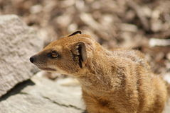 Yellow Mongoose - Cynictis penicillata Stock Photography