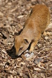 Yellow Mongoose - Cynictis penicillata Royalty Free Stock Photo