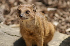 Yellow Mongoose - Cynictis penicillata Stock Photo