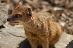 Yellow Mongoose - Cynictis penicillata Stock Image