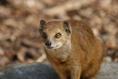 Yellow Mongoose - Cynictis penicillata Royalty Free Stock Photography