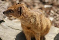 Yellow Mongoose - Cynictis penicillata Stock Images