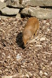 Yellow Mongoose - Cynictis penicillata Royalty Free Stock Photography
