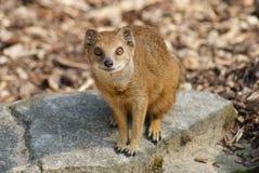 Yellow Mongoose - Cynictis penicillata Royalty Free Stock Photos