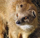 Yellow Mongoose (Cynictis penicillata). A close-up of a yellow mongoose, native to South Africa, showing the horizontal pupils Stock Photo