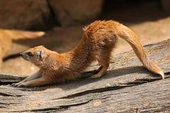 Yellow mongoose (Cynictis penicillata) Stock Photography