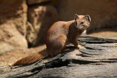 Yellow mongoose (Cynictis penicillata) Stock Image