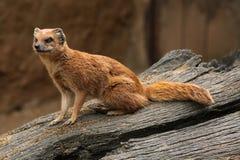 Yellow mongoose (Cynictis penicillata) Stock Photos