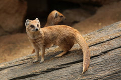 Yellow mongoose (Cynictis penicillata) Royalty Free Stock Photos