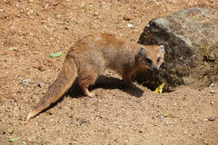Yellow mongoose (Cynictis penicillata) Royalty Free Stock Photography