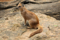 Yellow mongoose (Cynictis penicillata) Stock Photo