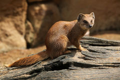 Yellow mongoose (Cynictis penicillata) Stock Photos
