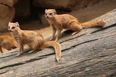Yellow mongoose (Cynictis penicillata) Royalty Free Stock Photos