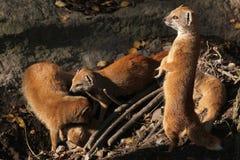 Yellow mongoose (Cynictis penicillata). Stock Photos