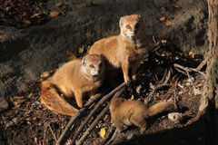 Yellow mongoose (Cynictis penicillata). Royalty Free Stock Image