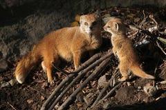 Yellow mongoose (Cynictis penicillata). Royalty Free Stock Photo