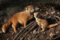 Yellow mongoose (Cynictis penicillata). Yellow mongoose (Cynictis penicillata) with a baby. Wild life animal Stock Photo